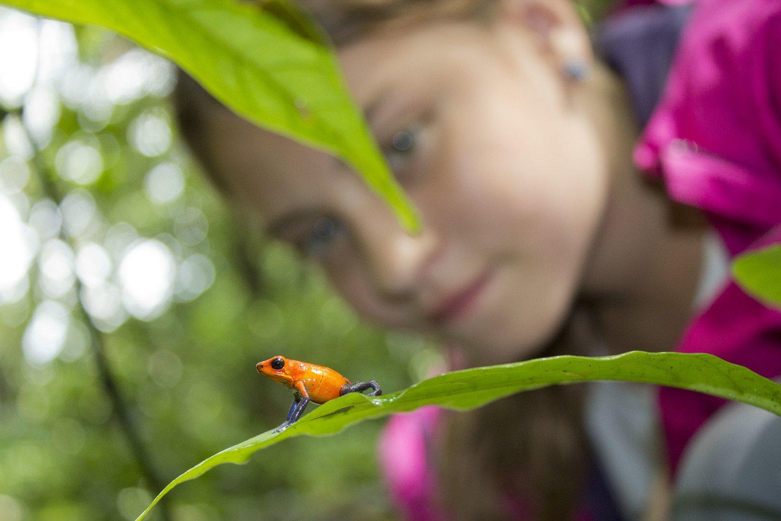 """""""Blue Jeans Poison Dart Frog at Jardin Ecologico Pierella. Horquetas, Costa Rica. © Hal Brindley .com"""""""