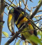 sidwell-2-many-banded-aracari-photo-credit-phil-kahler