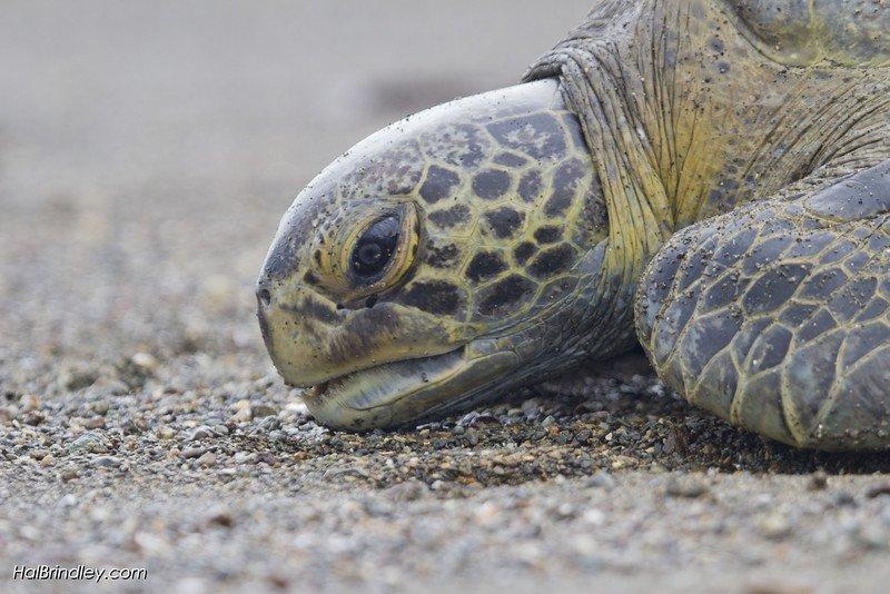 """Sea Turtle monitoring with LAST (Latin American Sea Turtle Program) near Playa Blanca, Costa Rica. © Hal Brindley"""